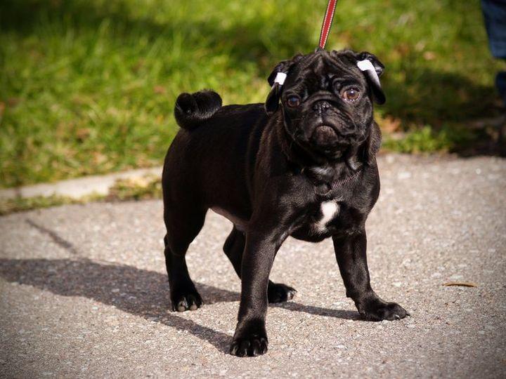 Собака породы мопс собака породы мопс