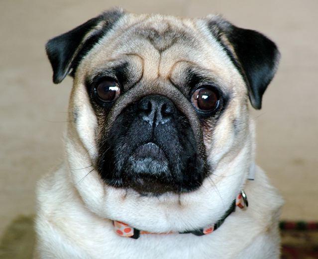 самая лучшая порода собак в мире фото